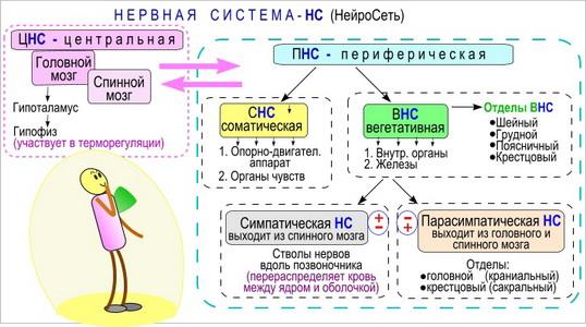 Схема системы нервов.